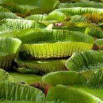 Nénuphars du jardin de pamplemousse à l'ile Maurice