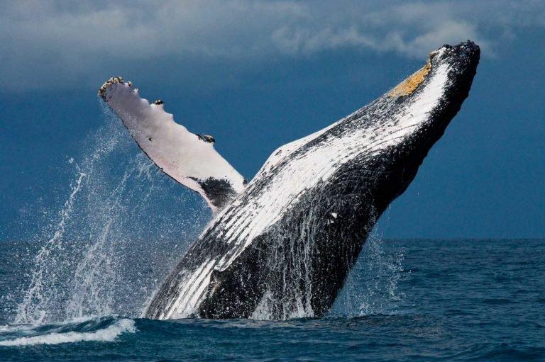 ACCUEIL-Le festival des baleines 2015 à Madagascar