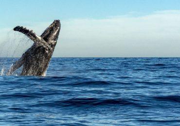 ARTICLE-À la rencontre des baleines à Madagascar