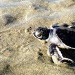 Mayotte - Bébé tortue