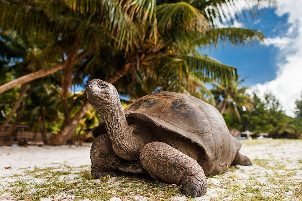 Les Seychelles - Tortue locale plage
