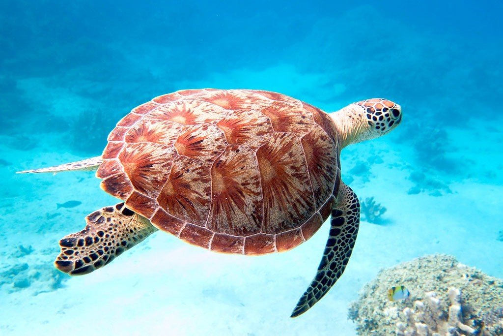 MAYOTTE - tortue