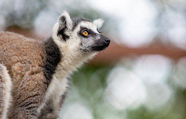 lemurien-ile-vanille