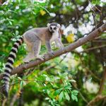 Madagascar - Forêt avec lémurien