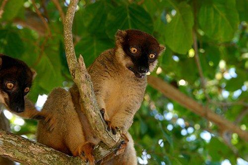i-v-ecotourisme-lemurien-fauve-madagascar