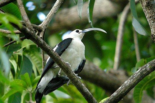 i-v-ecotourisme-Sickle-billed-vanga-ankarafantsika_national_park