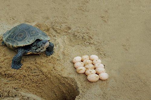 i-v-ecotourisme-tortues - oeufs - pondre