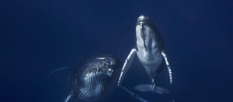 Baleines - Copyright Gabriel Barathieu
