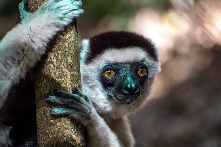 ile-vanille-home-madagascar-faune-lemurien