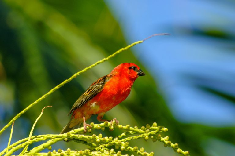 reunion_iles-vanille_oiseau-rouge